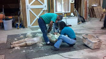 Shearing on Floor
