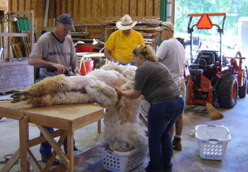 Shearing on Table
