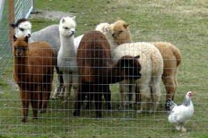 Alpaca Manure